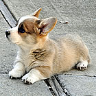 Corgi puppy at 6 weeks