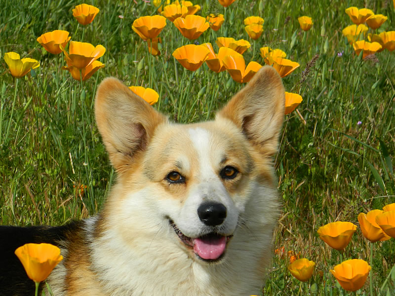 Parker in the poppies
